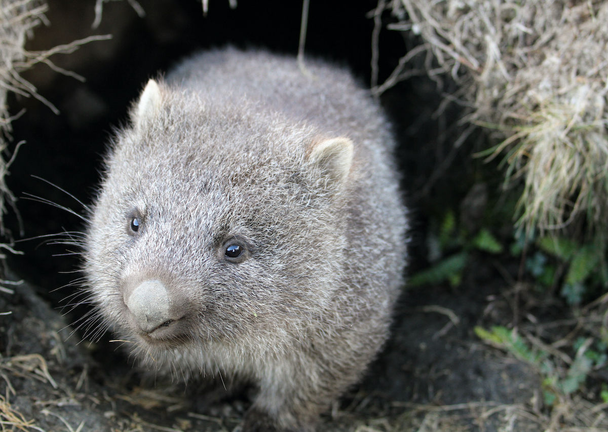 Wombats are the heroes of the Australian fires, sheltering animals in their burrows