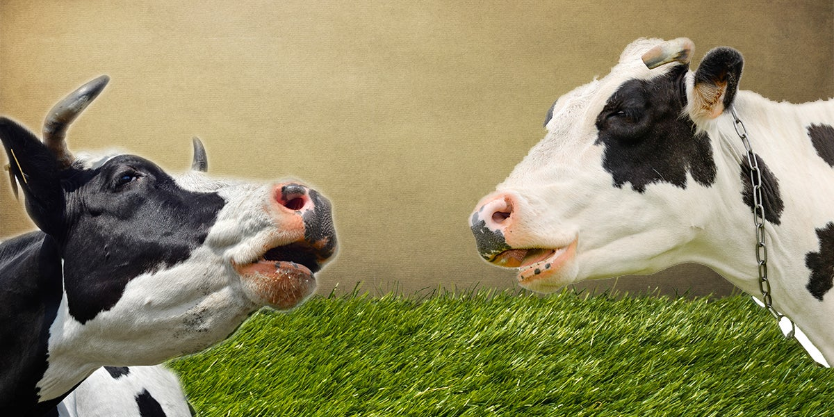 "Study Suggests Cows Tell Each Other How They're Feeling When They ""Moo"""