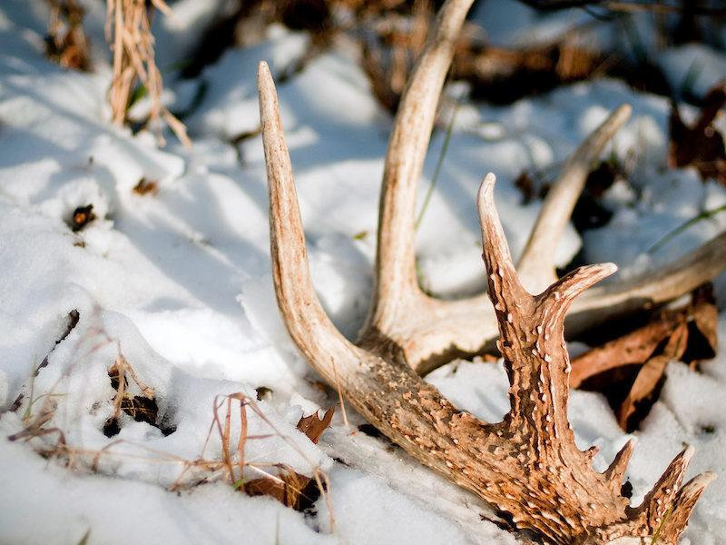 Rare Sighting: Deer Shed Its Antlers In The Middle Of The Night, Thinking No One Was Watching