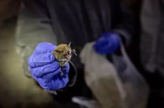 Coronavirus, Nipah, SARS, Ebola: How Do Bats Live With So Many Viruses?