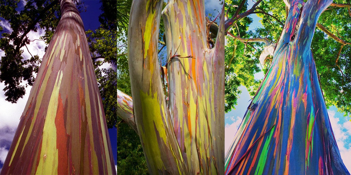 Rainbow Eucalyptus: One Of The Most Beautiful Trees In The World