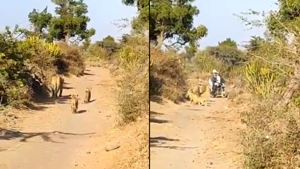Gir Lioness And Cubs Come Across Biker On Road. Watch What Happens Next