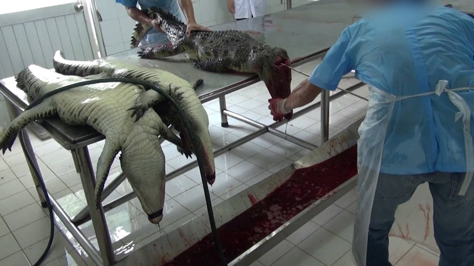 Footage Shows Crocodiles Skinned For Louis Vuitton Leather Bags While Still Alive