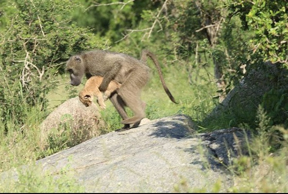 Baboon steals, grooms lion cub in South Africa national park