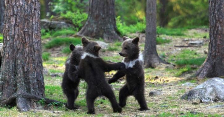 Man Who Captured Three Bear Cubs Dancing & Playing Like Human Kids, Thought He Was Imagining It