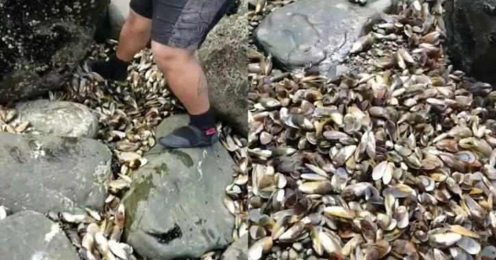 Climate Change: Half A Million Mussels