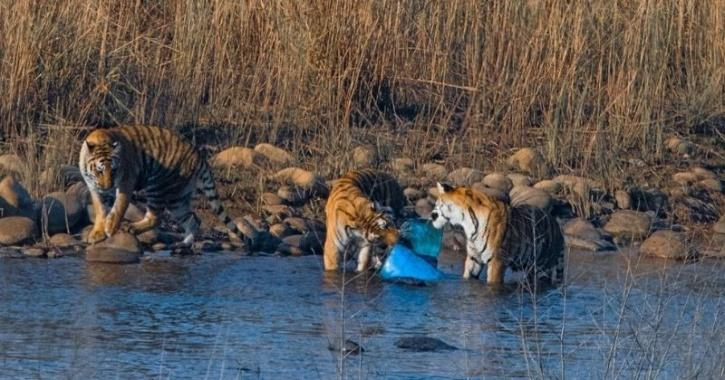 Image Of Tigers Trying To Eat Plastic Is Proof We