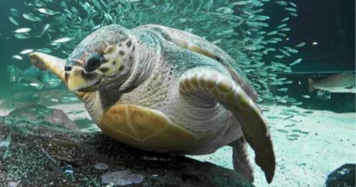Turtle Breaks Record Swimming 37,000 Km From Africa To Australia, Helping In Marine Research