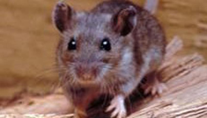 From Symptoms To Cure, Things One Should Know About Hantavirus