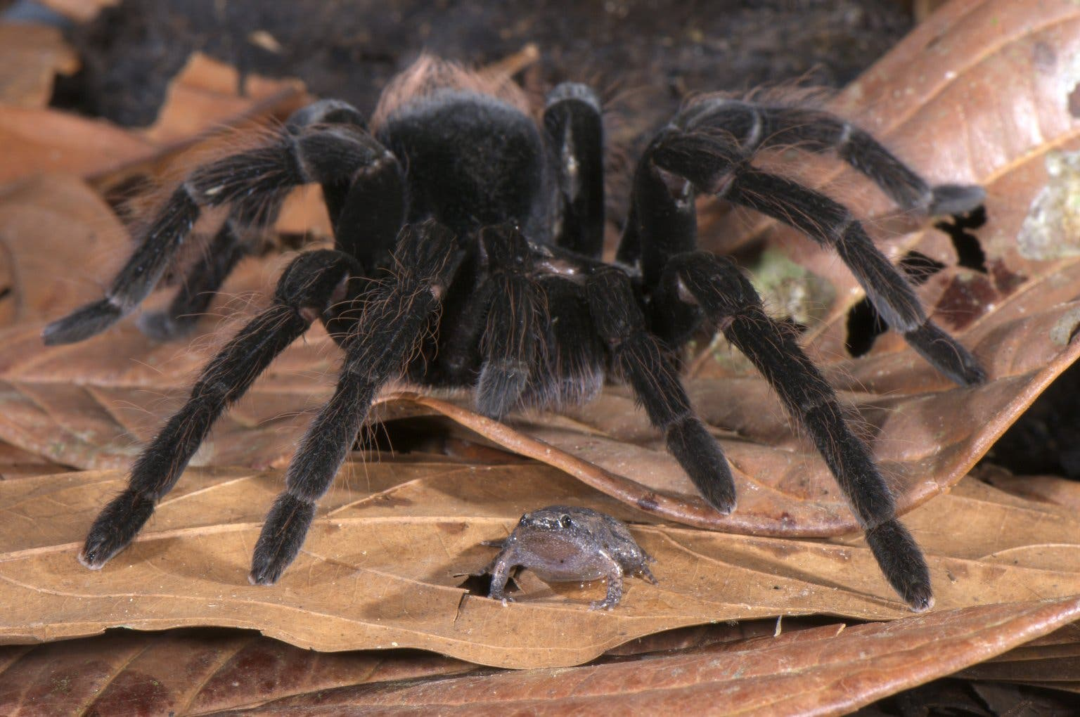 These Giant Tarantulas Keep Frogs As Pets And Both Protect Each Other From Dangers