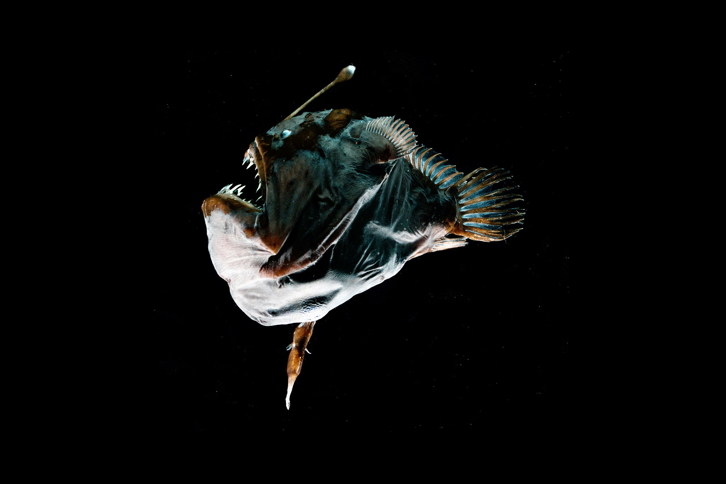 The Anglerfish Deleted Its Immune System to Fuse With Its Mate