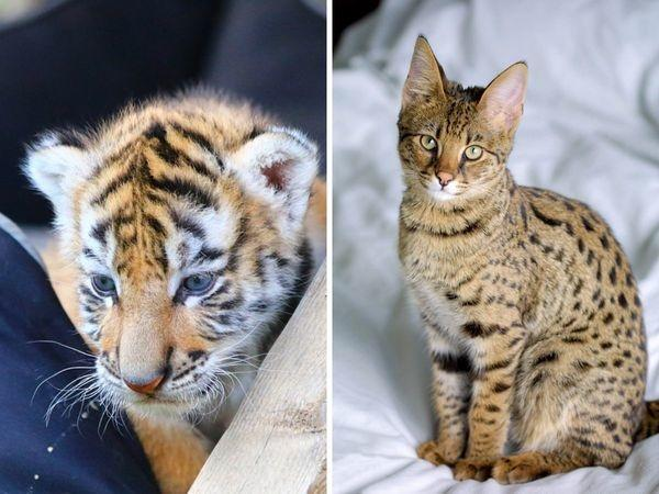 Kitten That Couple Ordered Online For Rs 5.1 Lakh Turned Out To Be A Tiger Cub
