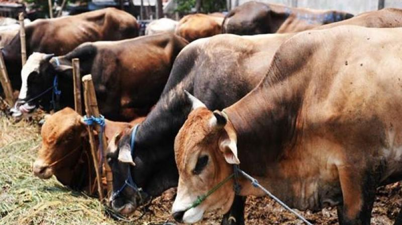 Effect of new slaughter laws: cattle numbers fall in BJP-ruled states