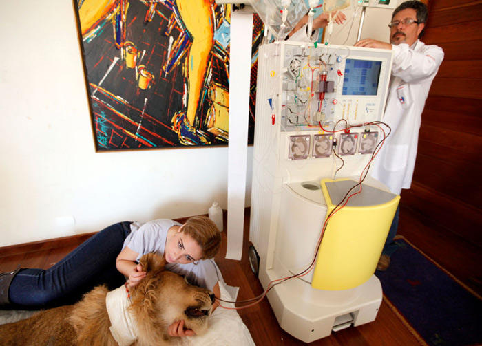 Veterinary physiotherapist Livia Pereira holds the head of paralyzed lion Ariel as a veterinary works on plasma exchange treatment machine in the living room of Pereira