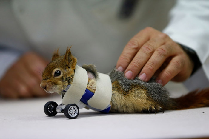 A prosthetics technician tests wheels on a squirrel after its limb amputation surgery at Aydin University in Istanbul, Turkey.
