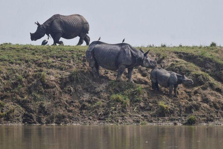 1. One-horned Rhinos are struggling to stay above water
