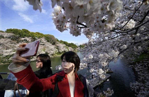 People young and old strolled beneath a canopy of cherry blossoms on a walkway along the Meguro River, also in central Tokyo. Some stopped to take selfies or close-ups of the blooms.