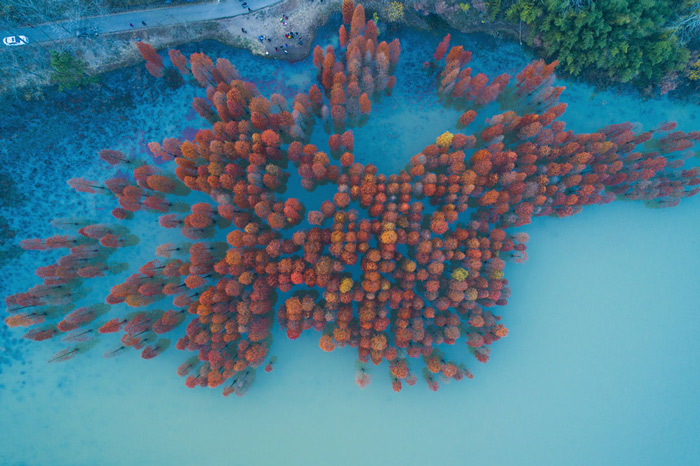 2.An aerial drone view of trees with fall foliage along a small lake in Nanjing, China.
