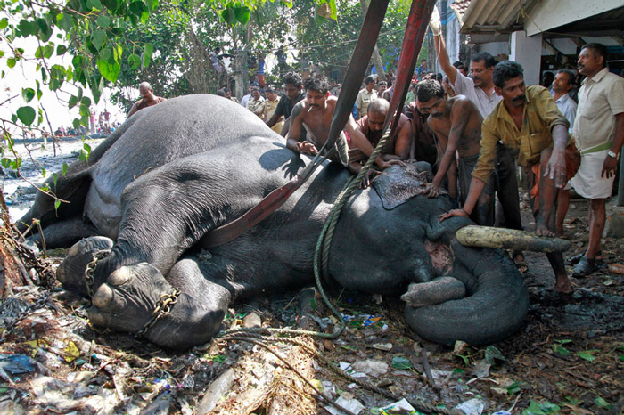 A vet administers glucose to an elephant after it was rescued from a marshland on the banks of the Vembanad Lake, in Kochi. According to the police, the elephant was brought onto the banks of the lake after nearly six hours of a rescue operation.