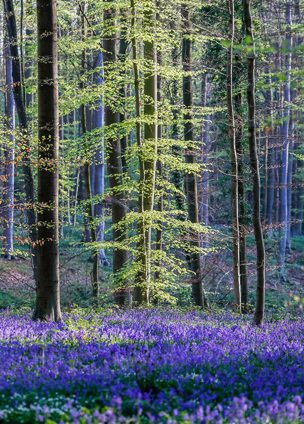 Wild bluebells, which bloom around mid-April, turns the forest completely blue and form a carpet in the Hallerbos.