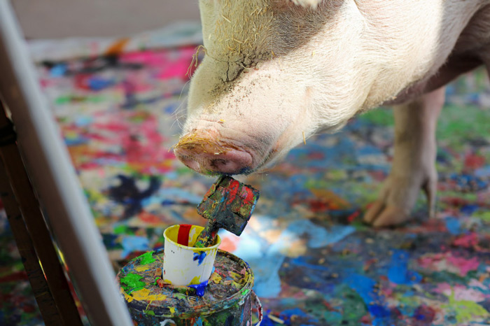 Pigcasso, a rescued pig, paints on a canvas at the Farm Sanctuary in Franschhoek, outside Cape Town, South Africa.