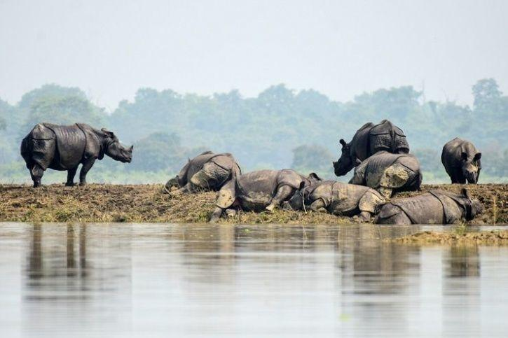 2. Exhausted Rhinos are seen resting on dry patches of land, probably tired after hours of wading through the currents.