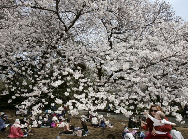 """Some laid down picnic sheets at Shinjuku Gyoen, a former imperial garden in the heart of Tokyo, to enjoy """"hanami,"""" the custom of blossom viewing. Eating and drinking under the trees is a popular pastime."""