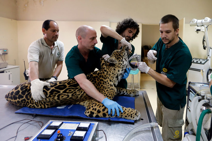 Veterinarians prepare Tango, an eleven-year-old male jaguar, for a full medical examination at the Buenos Aires Zoo. Argentina