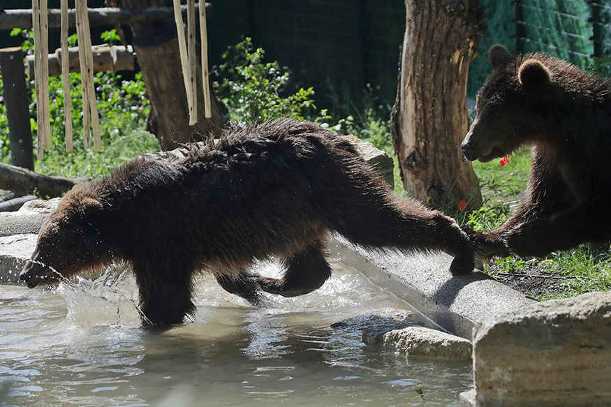 Brown bear cubs beat the heat by jumping into a pool in Rome