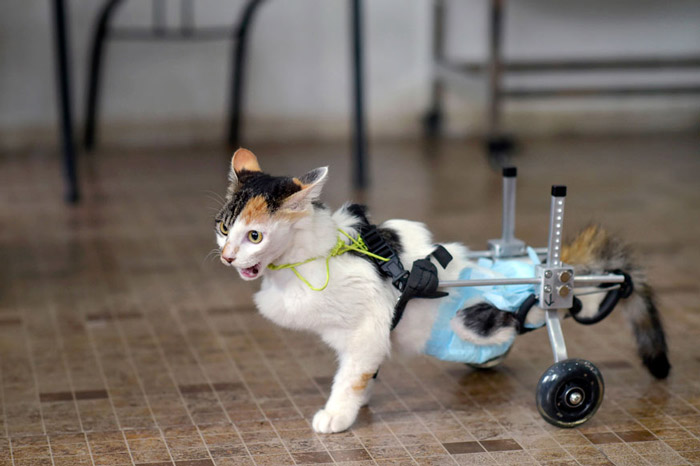 An 8-month-old cat walks with the help of a prosthetic two-wheel device, at a veterinary hospital in Chongqing municipality, March 16, 2015. The cat