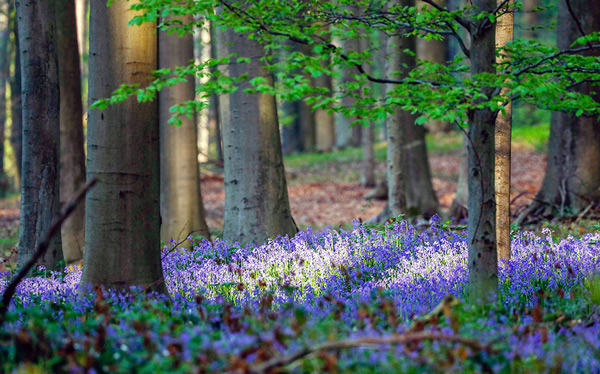 Wild bluebells turn the forest completely in blue, forming a carpet in the Hallerbos, also known as the
