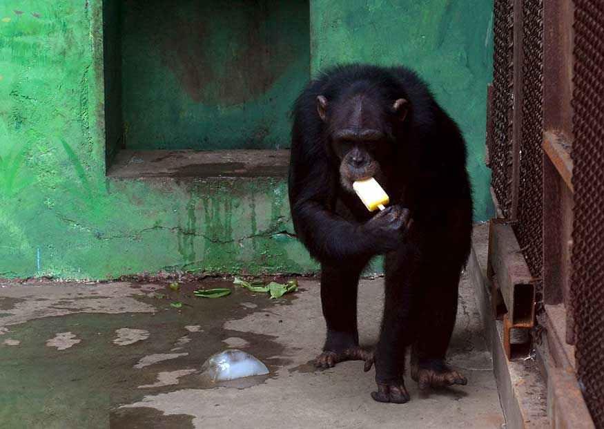 A chimpanzee eats an ice pop to cool off the summer heat.