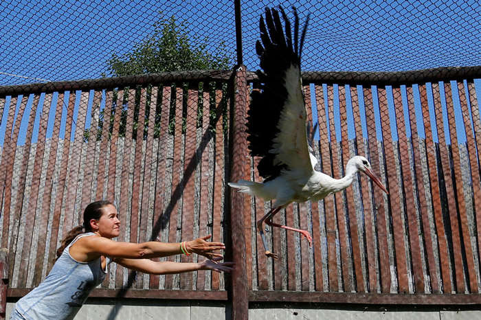 An assistant sets free an injured stork, which received a prosthetic leg, at a hospital for wild birds in Hortobagy National Park, Hungary.
