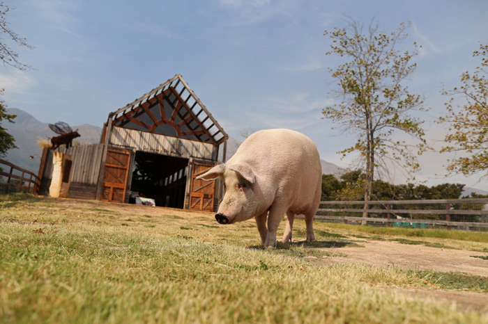 Pigcasso as she is aptly known as rescued from a slaughterhouse in 2016.