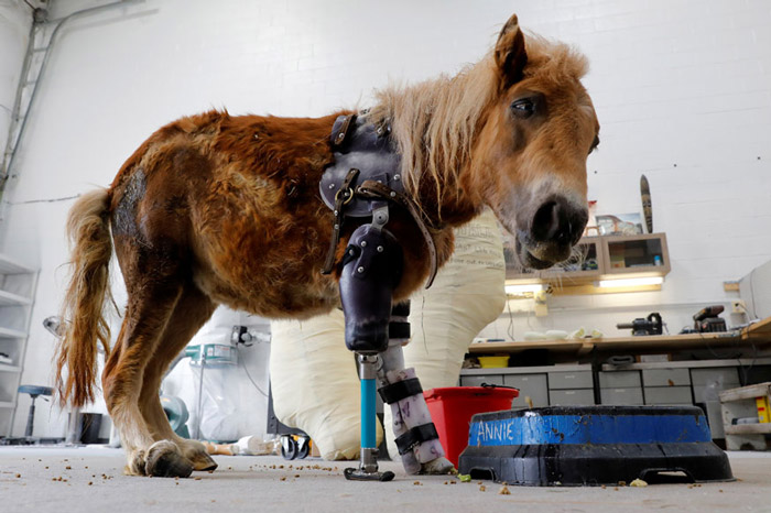 Angel Marie, a three-legged mini horse who wears a prosthetic leg made by Derrick Campana of Animal Ortho Care, looks up from her feeding bowl during a visit with Campana in Sterling, Virginia.