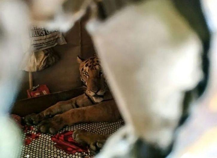 5. A tiger escaped from the sanctuary and was spotted