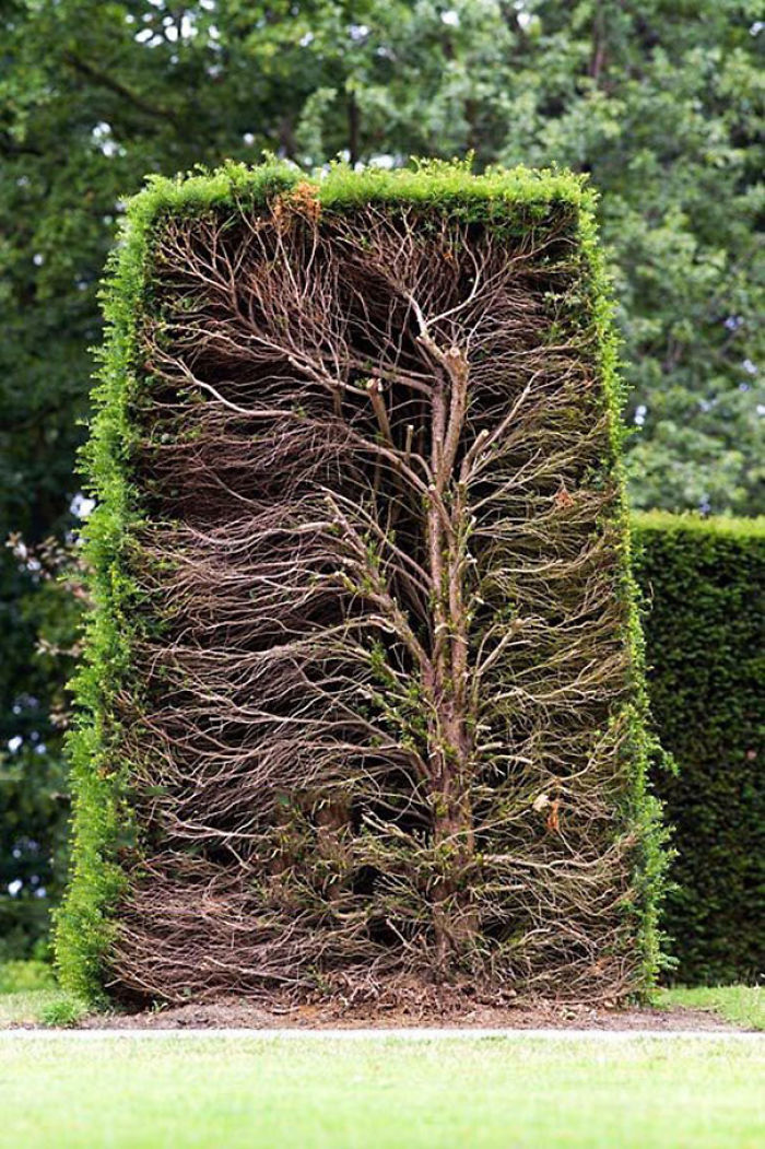 Cross-section of a trimmed hedge