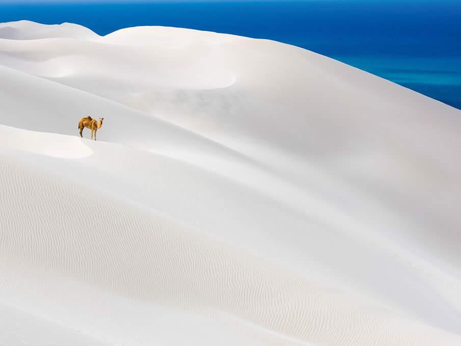 Camel, Socotra Island
