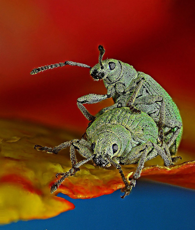 Two weevils work at passing on their genetic inheritance:
