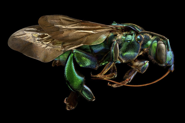 An orchid cuckoo bee shines like metal:
