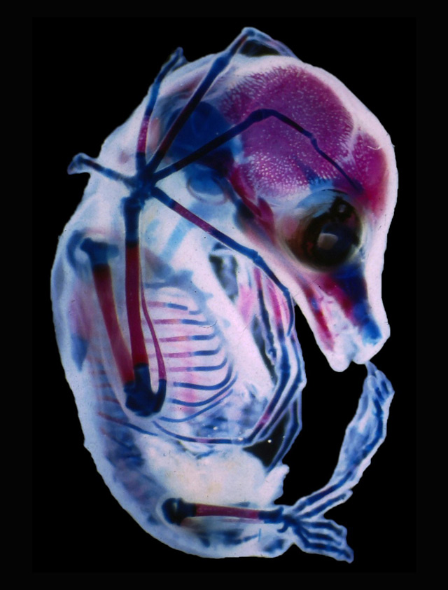 A bat foetus with see-through skin and bones: