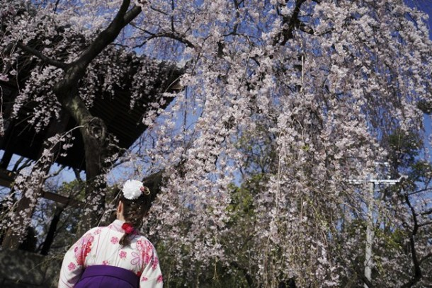 """A woman wearing a Japanese traditional clothing called """"hakama"""" views the blooming the cherry blossoms overhead in Tokyo."""