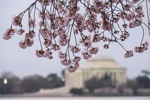 Japan is not the only place to enjoy cherry blossoms during spring. Washington too witness bautiful blooms every year. With the National Cherry Blossom Festival running March 20-April 15, the famous 3000 trees surrounding the Tidal Basin were gifts from a Tokyo mayor to the US capital city in 1912.