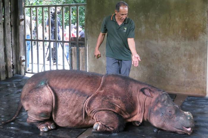 "A veterinarian attends to ""Puntung"", a newly captured female Sumatran Rhinoceros (Dicerorhinus sumatrensis) in Lahad Datu, in Malaysia"
