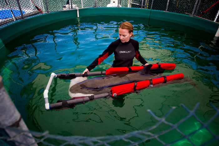 A veterinarian technician Chellan Robinson wades with a false killer whale calf after it was rescued near the shores of Tofino. The rescue team is providing the whale with 24-hour care and has listed its status as hour-to-hour.