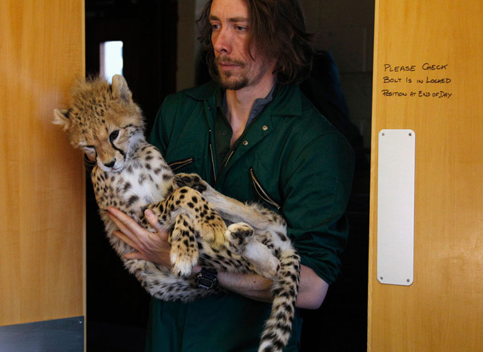 Carnivore keeper Andy Wolfenden carries Juba the Cheetah cub into the operating theatre after being anaesthetized ahead of his operation at Chester Zoo, England. The 9 month old cat was undergoing surgery to insert a metal plate in his right ankle to mend a fracture.