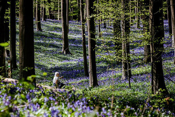 A woman sits on a tree trunk in the Hallerbos as bluebells bloom, in Halle, Belgium.