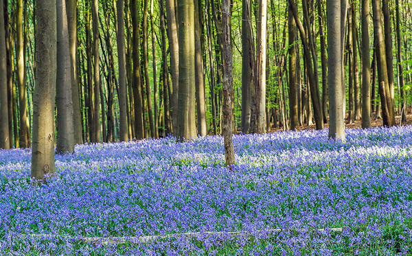Wild bluebells, which bloom around mid-April, turning the forest completely blue, form a carpet in the Hallerbos in Belgium.