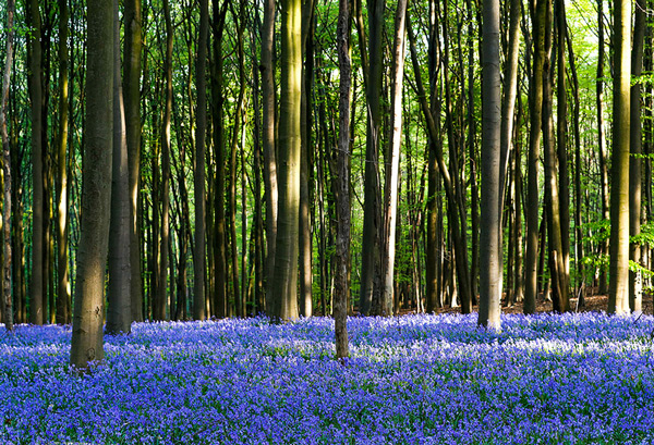 Wild bluebells, which bloom around mid-April, turning the forest completely blue, form a carpet in the Hallerbos in Belgium,