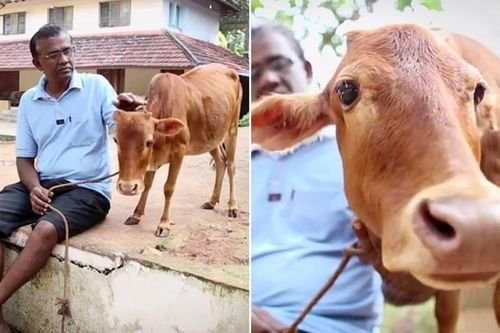 13. World's shortest cow